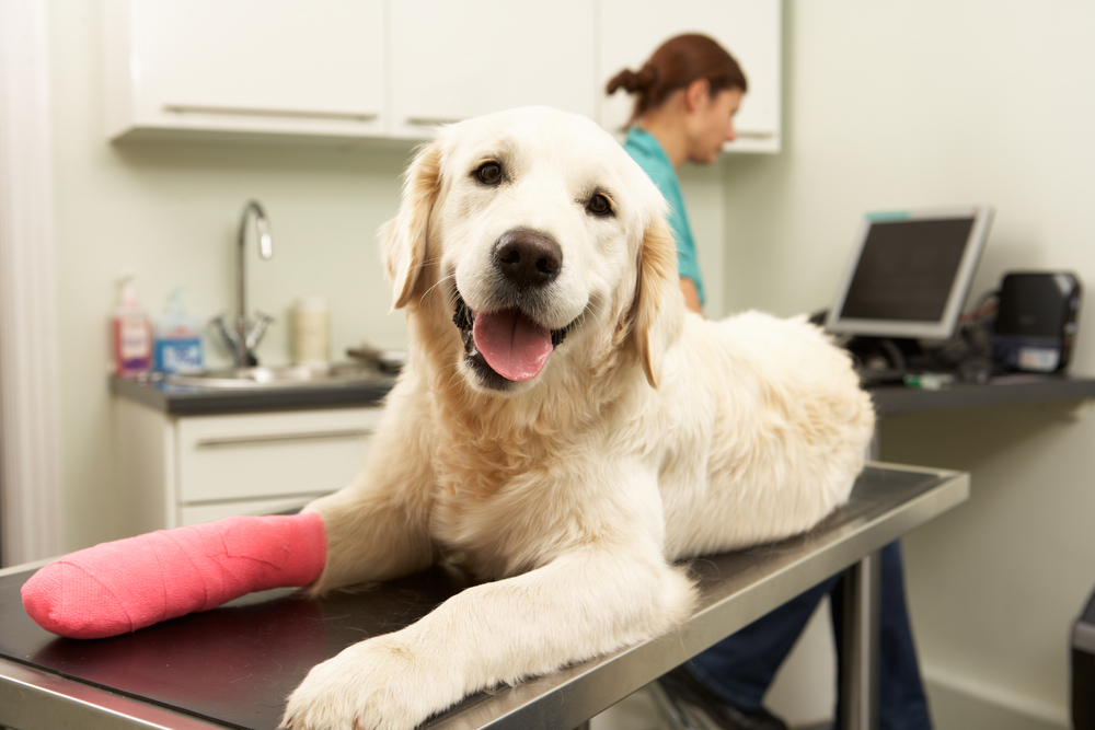 dog with red cast after surgery